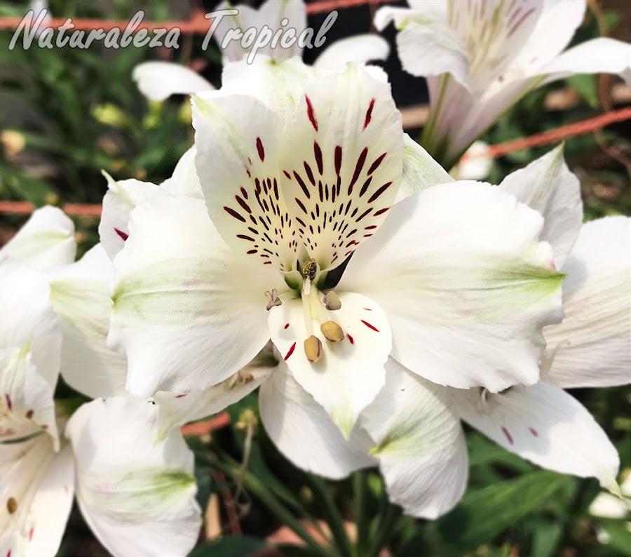 Lirio del Perú con flores blancas manchadas, género Alstroemeria
