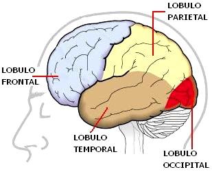 Dibujo del cerebro y sus lóbulos para niños