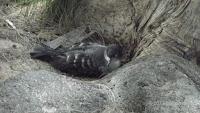Likely injured Wedge-tailed Shearwater – Laniakea Beach, North Shore, Oahu – Dec. 29, 2013 – © Denise Motard