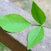 खाँसी-जुखाम में गुणकारी है बेलपत्र का सेवन, ऐसे करें सेवन
