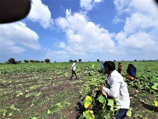 पहले लाक डाउन मे भाव नहीं मिला, अब अल्प वर्षा से किसानों की हालत खराब