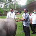 Bupati Samosir Serahkan 11 Ekor Bibit Ternak Kerbau Kepada Kelompok Tani di Onan Runggu