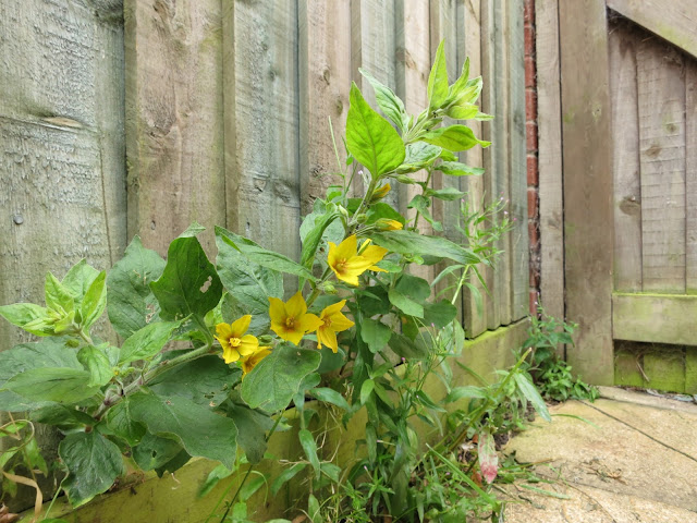 Dotted Loosestrife with bright yellow flowers against fence by gate