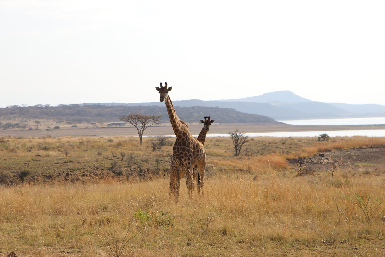 Giraffe in Spioenkop Game Reserve, South Africa