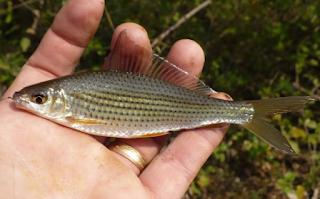Ikan nilem (Osteochilus vittatus)