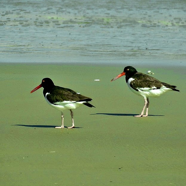 O piru piru é uma das aves tipicamente encontradas no Parque da Lagoa do Peixe