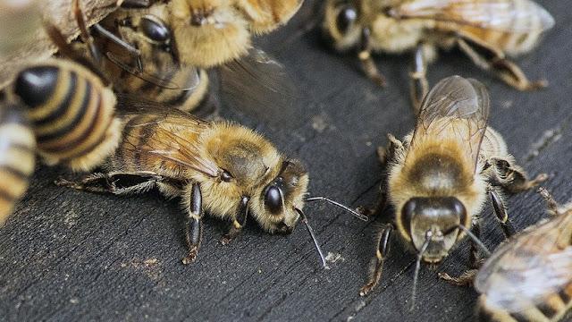 Un 'youtuber' filma numerosas abejas agonizando tras el fuerte terremoto en California