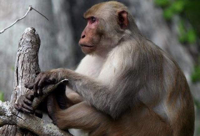 इंसानों की तरह ये काम करता दिखा बंदर, वीडियो हुआ वायरल