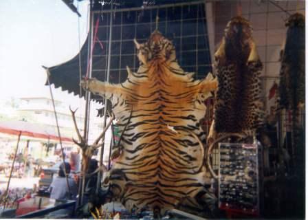 Geografika Nusantara My Friend Got Pinched Tiger