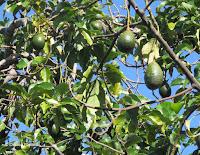 Avocados in tree - Greenwell Coffee Farms, Big Island, HI