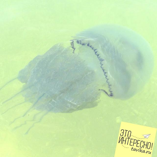 Обитатели Черного моря. Медуза корнерот
