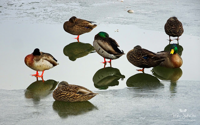 Ducks Sleeping Photography Print