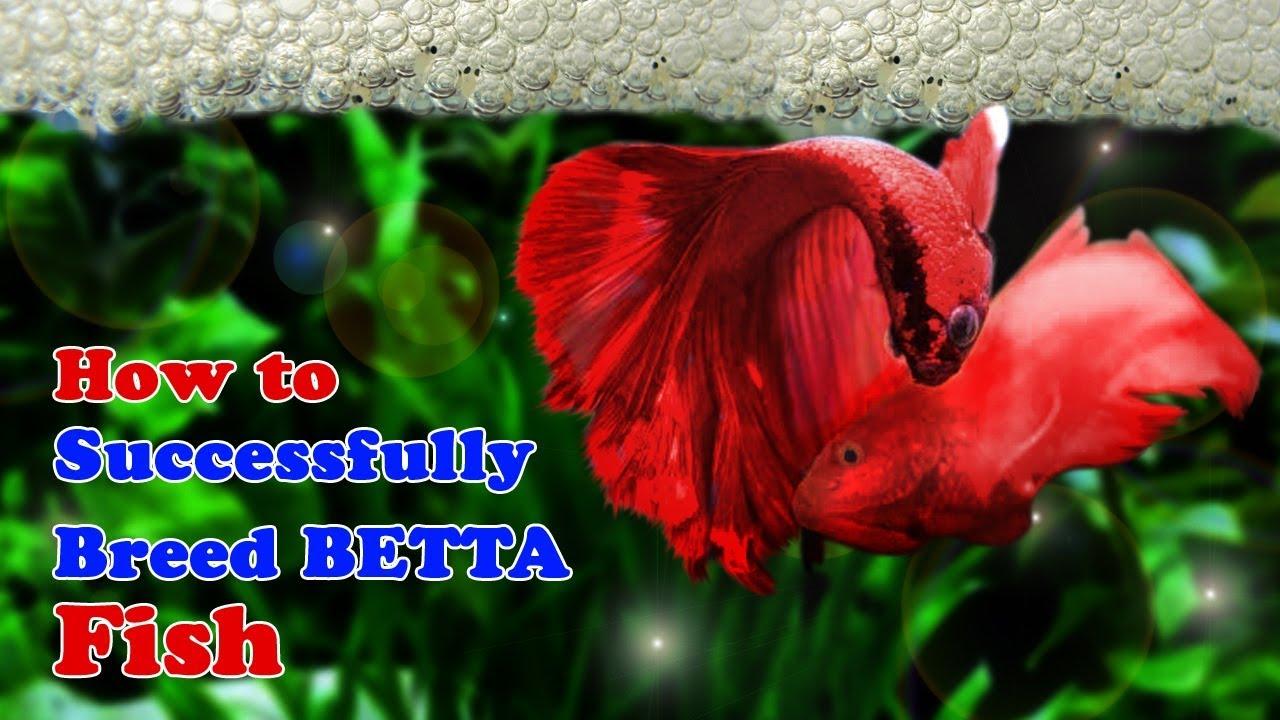 Budidaya Ikan Cupang yang Baik dan Benar