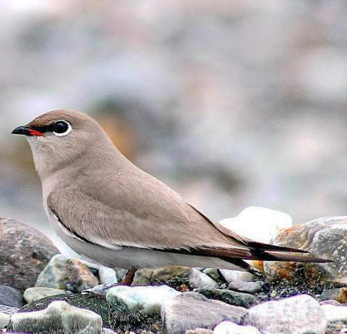 Indian birds - Picture of Small pratincole - Glareola lactea