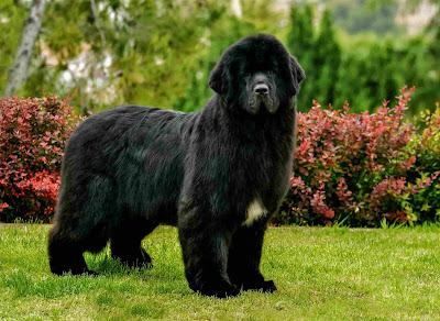 black dog breeds, black dogs