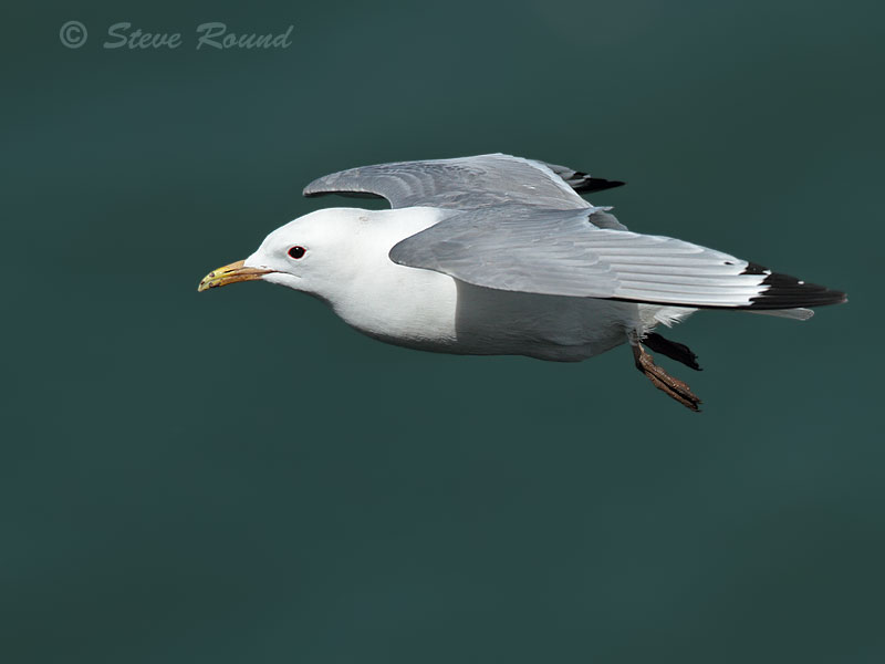 kittiwake, gull, bird, nature, wildlife