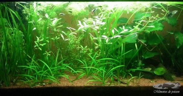 plantes aquarium eau douce. Black Bedroom Furniture Sets. Home Design Ideas