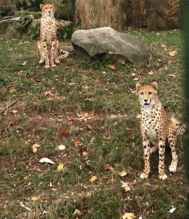 Zwei Geparden im Kölner Zoo