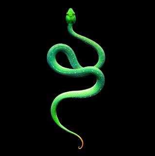 Vogel's Pit Viper (male)
