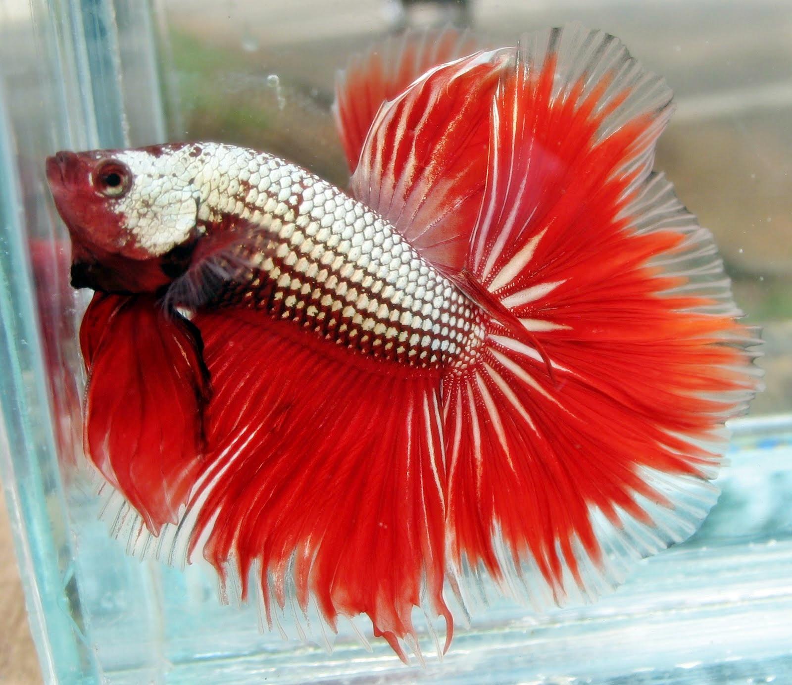 gambar foto ikan cupang