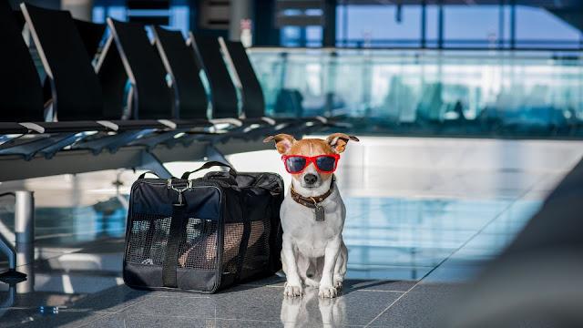 cachorro sentado de oculos escuros em um aeroporto