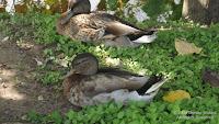Resting Hawaiian ducks-mallards, Hamakua Marsh, Kailua, Oahu - © Denise Motard
