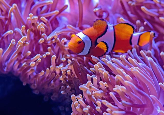 Clownfish Facts