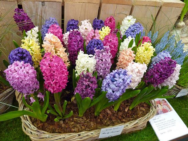 Lan Dạ Hương là loài hoa tuyệt đẹp và đa màu sắc