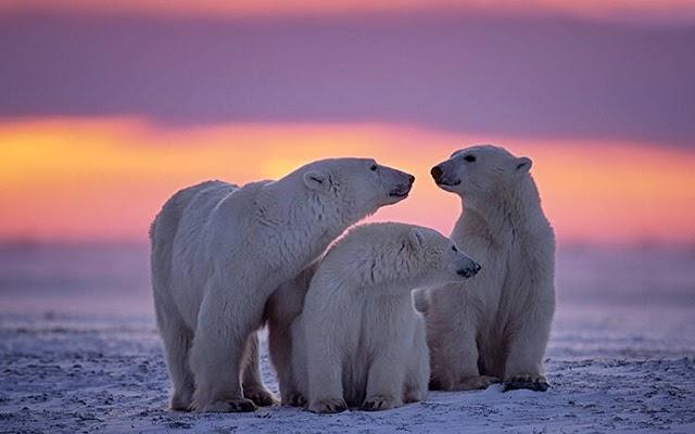 Δραματικές προβλέψεις των επιστημόνων για τις πολικές αρκούδες