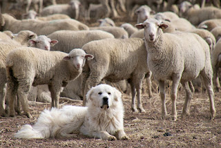 Picture of Sheepdog Protecting Sheep