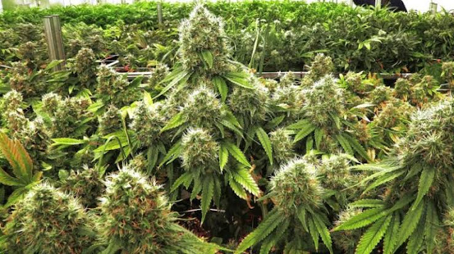 Government sets strict rules for marijuana growing