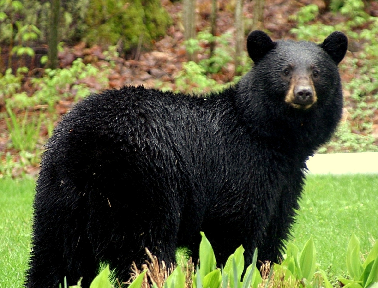 Animals of the world: American Black Bear - photo#28
