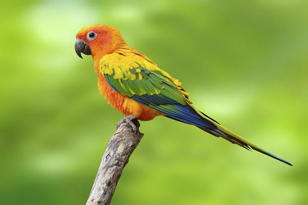 Periquito Jandaia (Aratinga jandaya)