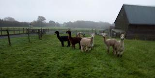 www.alpacas-for-sale.co.uk
