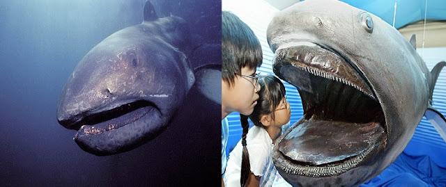 Dev Ağızlı Köpekbalığı Hakkında Bilgi
