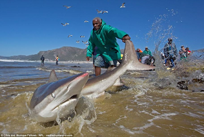 Photos show the moment fishermen risked their lives trying to drag a shark back into the sea in South Africa