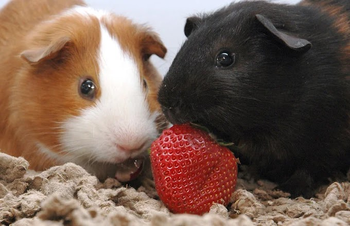 Can Guinea Pigs Eat Strawberries?  |  Cage Heaven