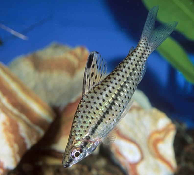 Chilodus punctatus