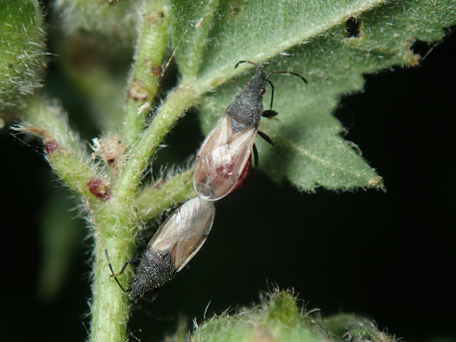 Oxycarenus hyalinipennis