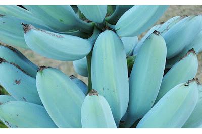 pisang blue java, pisang berwarna biru, pisang kepok awu