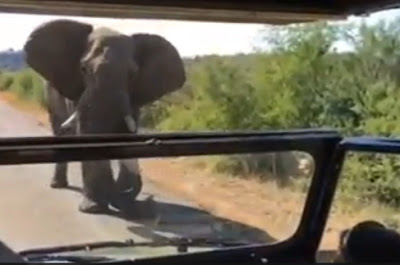 elephant attacks governor arnold south africa