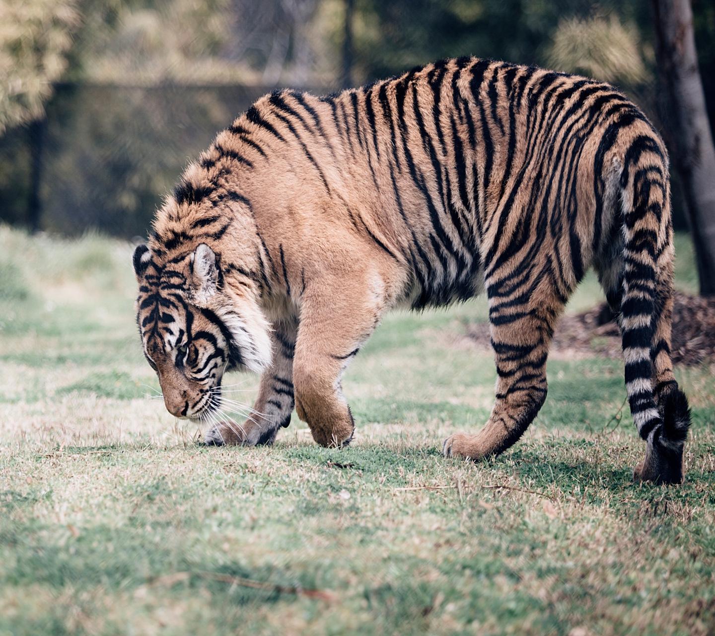 wallpaper 1280x800 pack tigre
