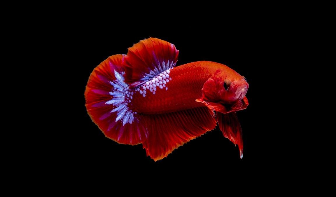 Ikan-Cupang-Hellboy-Jenis-Ciri-ciri-Cara-Merawat-Hingga-Harga