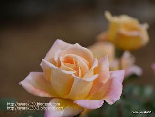 淡い黄色の薔薇のクローズアップ写真