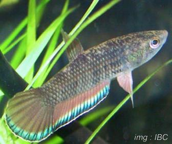 Jenis Ikan Cupang Spesies Betta Picta