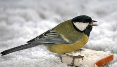 Mengenal Dekat Jenis Burung Gelatik Wingko Paling Lengkap