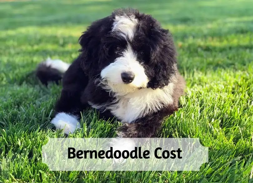 Bernedoodle-Cost