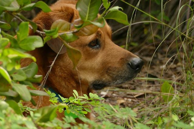 Carolina Dog, Key West
