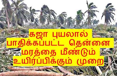 புயலால் பாதிக்கப்பட்ட தென்னைக்கு உயிர் கொடுங்கள். Kaja Puyal aditthu sedham adaindha thennai marangalai mendum uyir kodutthu kappatra tips, Agri tips, How to regrow damaged coconut tree, gaja cyclone tamilnadu