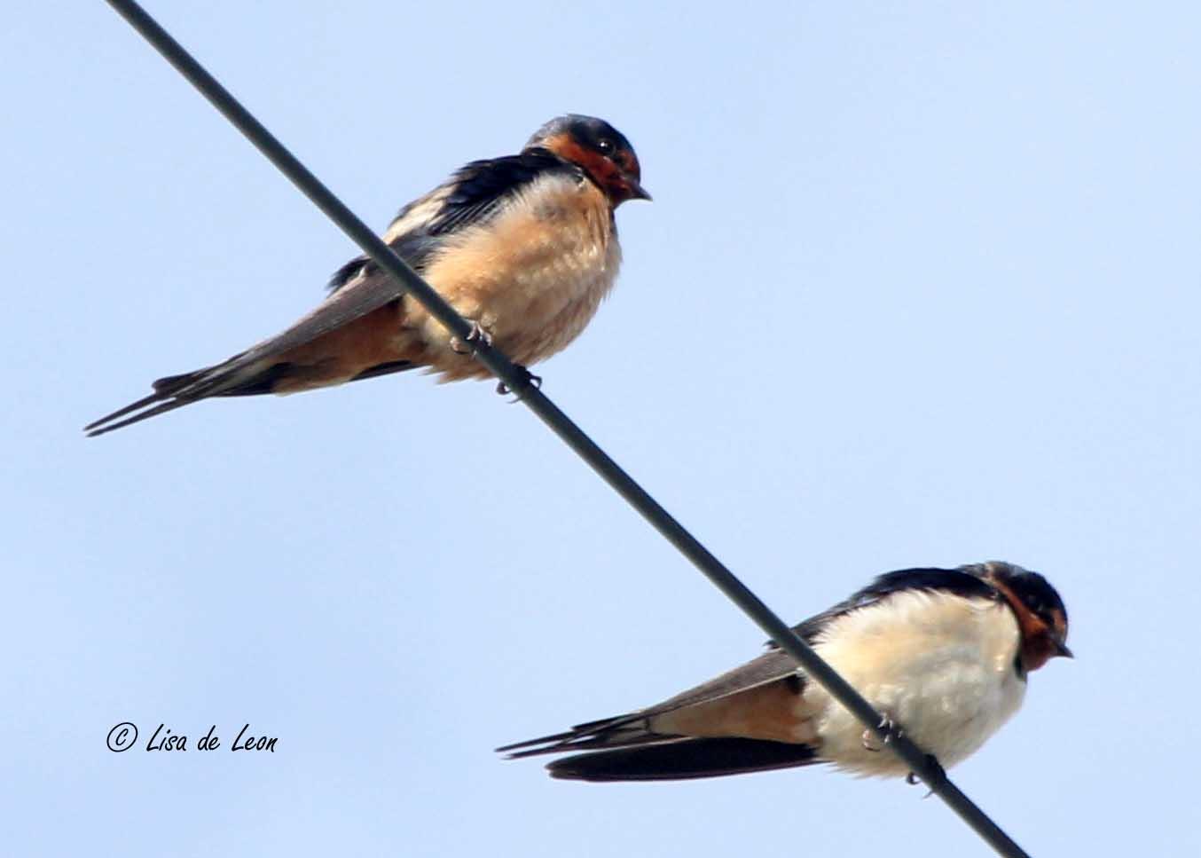 Male Barn Swallow 8